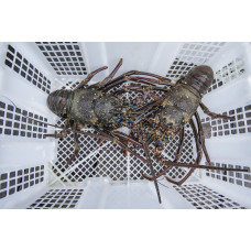 LIVE Sand Lobster Scalloped Spiny Lobster
